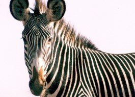 Save a Grevy's Zebra today!